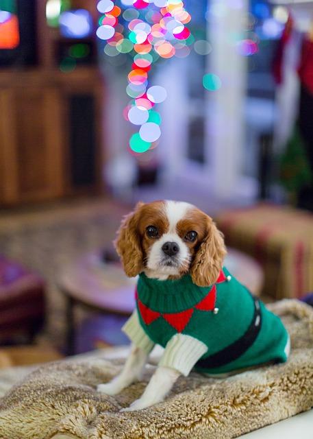 Cavalier King Charles Spaniel, Spaniel, Dog, Christmas