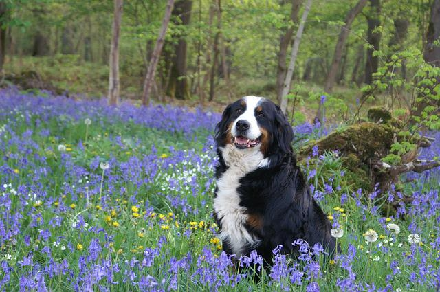 Dog, Bernese Mountain Dog, Forest, Spring, Violet