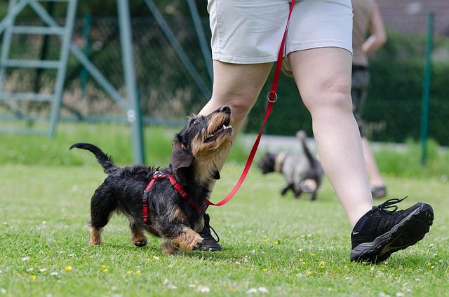 Dachshund, Dog School, Dog Training, Obedience