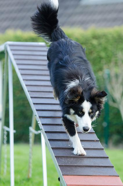 Agility, Web, Catwalk, Training, Dog Training
