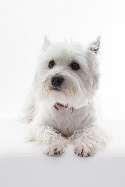Dog, Animal, Pet, Westi, West Highland White Terrier