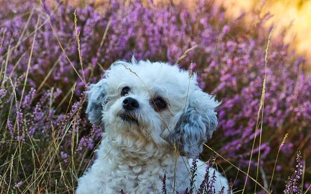 Dog, Bolonka, Optional, Purebred Dog, Animal, White