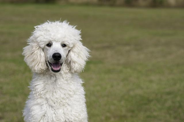 Poodle, The Poodle, Dog, The Dog Breed, White