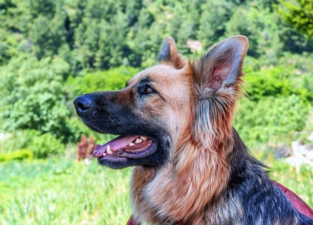 Dog, Dog Wolf, Animal, Profile Dog, Canine, Adult Dog