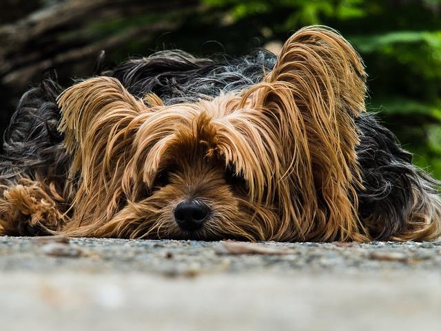 Dog, Yorkshire Terrier, Lazy Dog