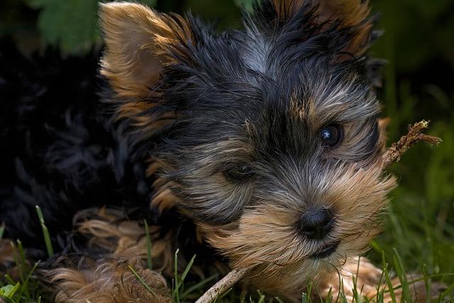 Dog, Puppy, Yorkshire Terrier, Yorkshire Terrier Puppy