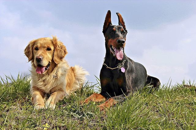 Doberman, Golden Retriver, Dogs