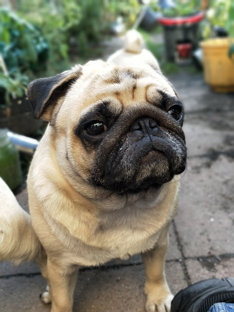 Download Pug Canine Adorable Dog - Dogs-Puppies-Cute-Pugs-Waiting-Puppy-Garden-Pug-2498924  Snapshot_621746  .jpg