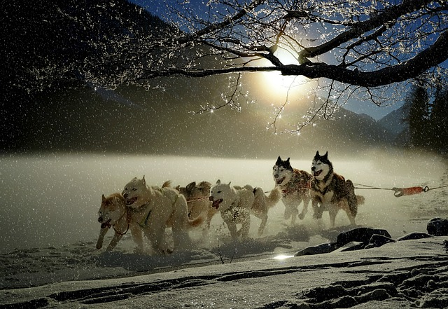 Dogs, Huskies, Animal, Dog Racing, Winter, Wintry