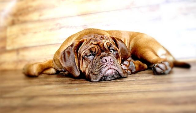 Dog, Dogue De Bordeaux, Mastiff, Bordeaux, Burgundy