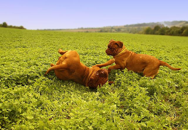 Dog, Big Dog, Puppy, Puppyes, Dogue De Bordeaux