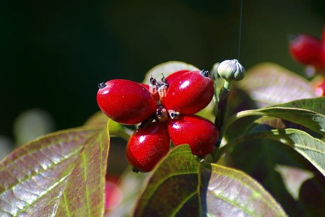 Dogwood Berries, Dogwood, Cornaceae, Plant, Red, Cornus