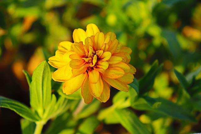 Yellow Flower, Doha, Qatar