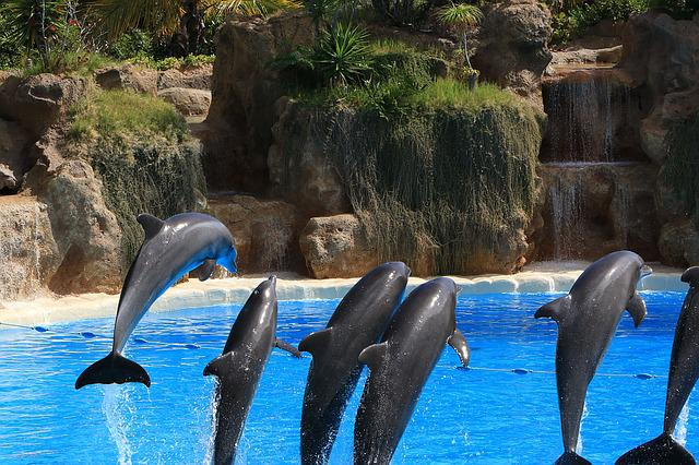 Dolphins, Preview, Loro Park, Tenerife, Fun, Water
