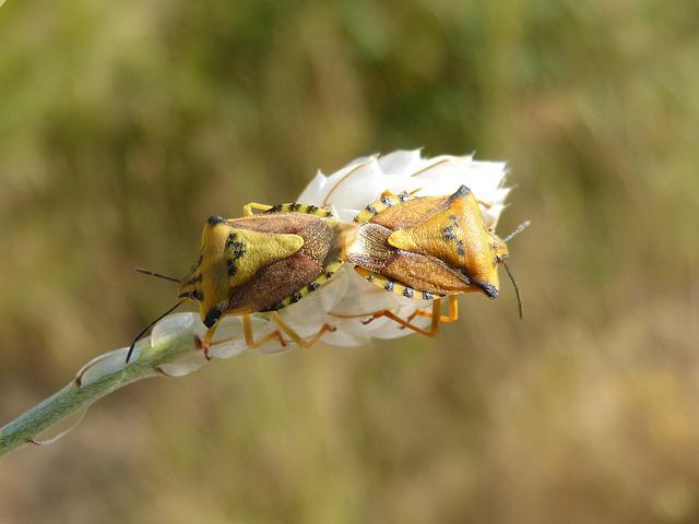 I Pentatomid, Dolycoris Baccarum, Beetle, Copulation