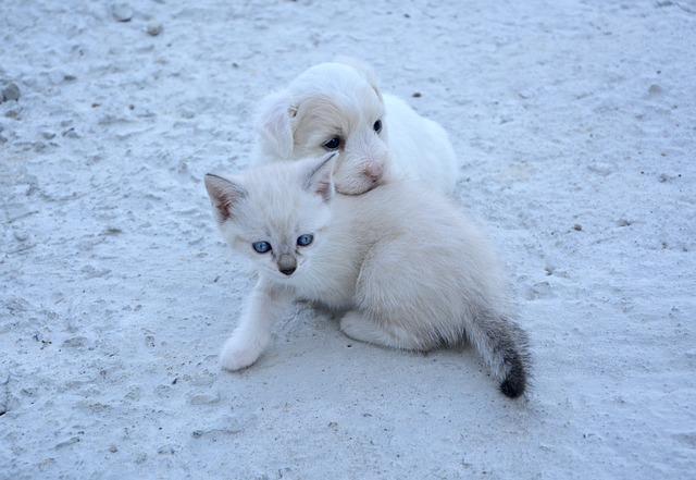 Dog, Cat, Puppy, Kitten, Animals, Domestic Animal
