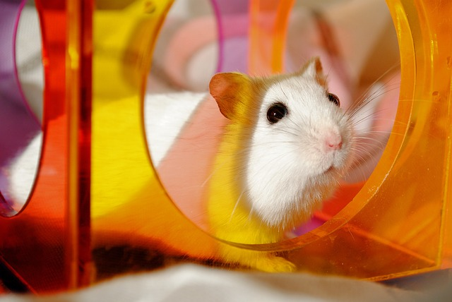 Hamster, Rodent, Domestic Animal, Colorful