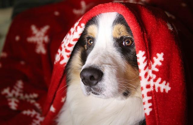 Dog, Truffle, Portrait, Domestic Animal, Pup, Christmas