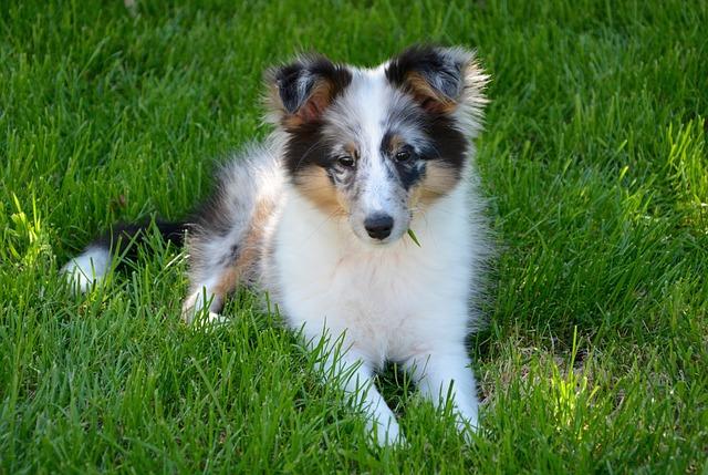 Shetland Sheepdog, Puppy, Young, Dog, Domestic Animal