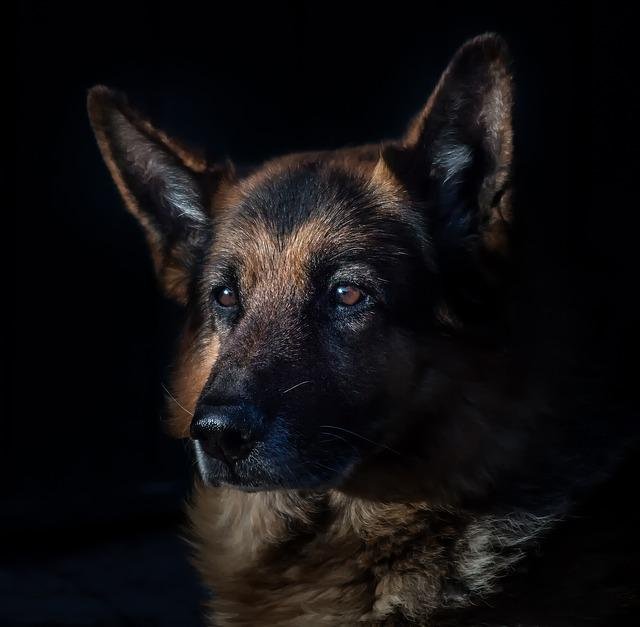 German Shepherd, Domestic Animal, Dog Head, Portrait