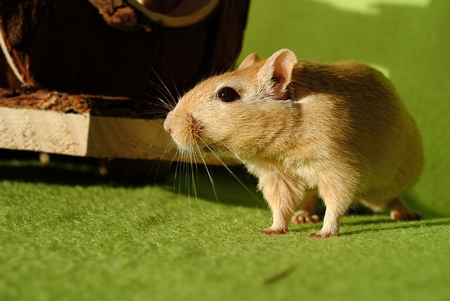 Domestic Animal, Rodent, Gerbil