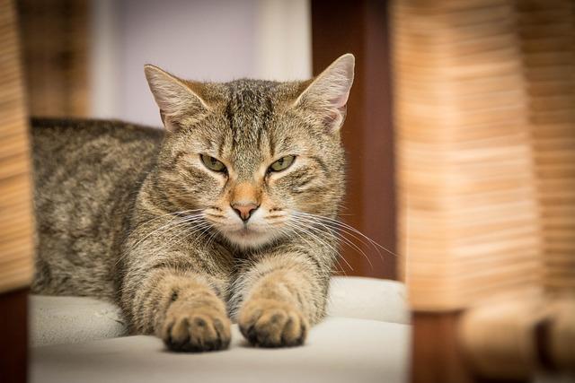 Domestic Cat, Cat, Pet, Animal