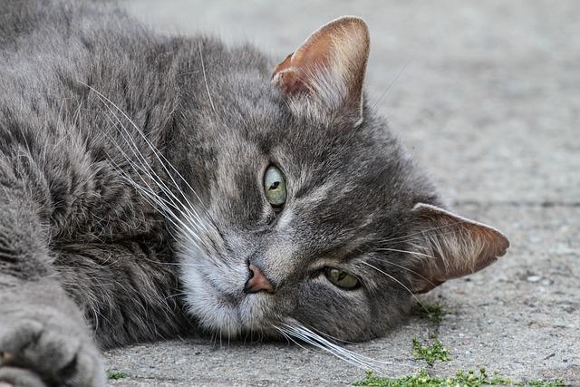 Cat, Domestic Cat, Pet, Grey, Relaxed, Lying, Animal