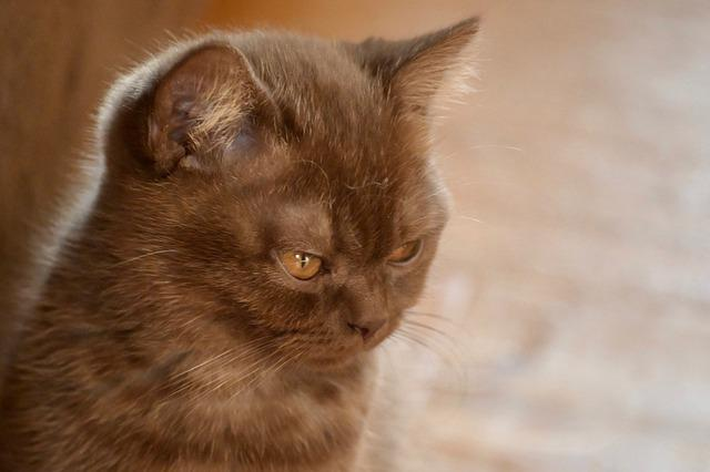 British Shorthair, Cat, Kitten, Domestic Cat, Eyes