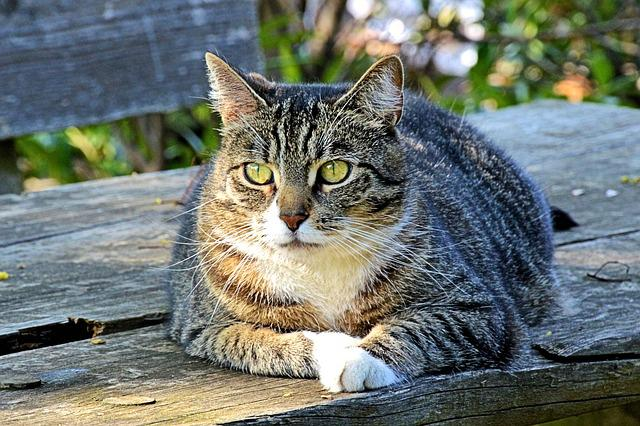 Cat, Mackerel, Sunning, Tiger Cat, Domestic Cat, Pet