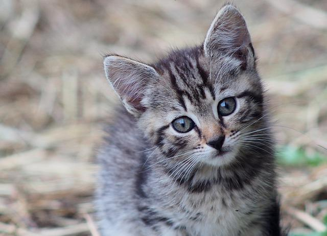 Cat, Tomcat, Kitty, Kitten, Domestic Cat, Animal