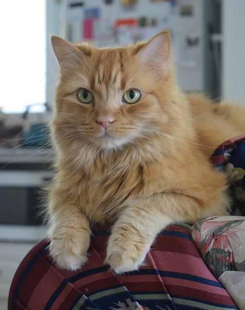 Ginger Cat, Domestic Cat, Whiskers, Paws, Kitty