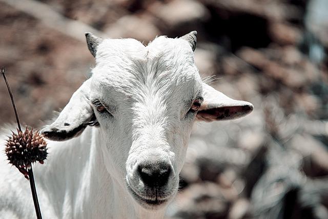Goat, Cattle, Domestic, Animal