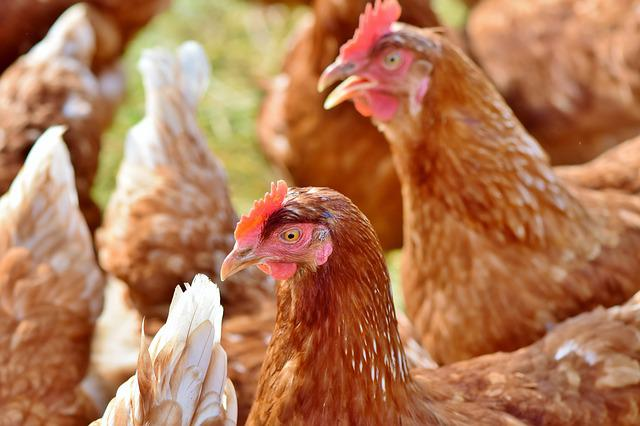 Chicken, Hen, Poultry, Laying Hens, Domestic Chicken