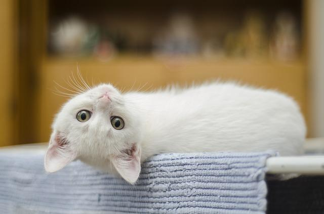 Kitten, Cute, Cat, White, Domestic, Cute Cat, Feline