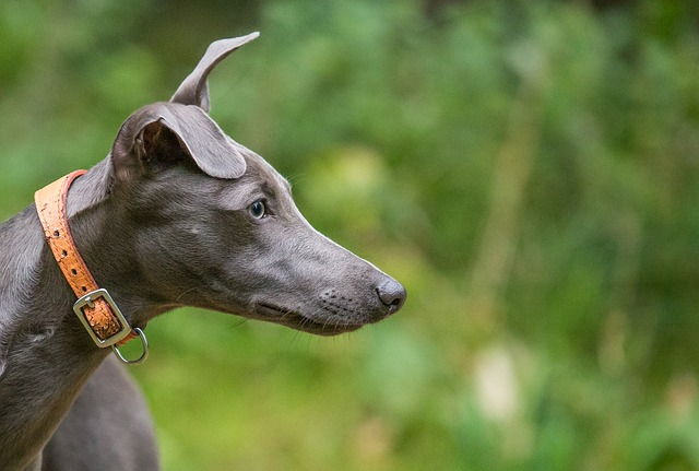 Animal, Nature, Mammal, Dog, Grass, Whippet, Domestic
