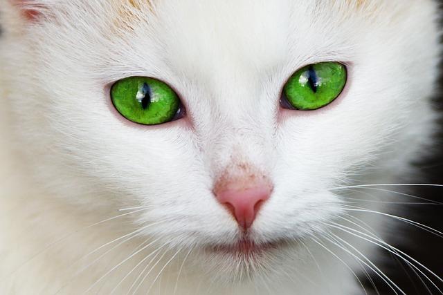 Animal, Cat, Domestic, Eye, Eyes, Face, Feline, Fur
