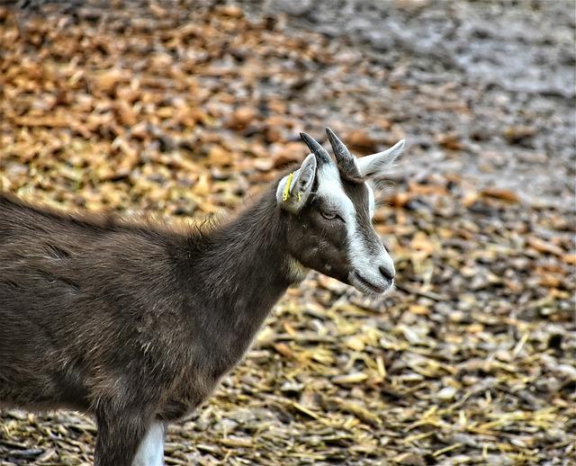 Goat, Horns, Livestock, Horned, Domestic Goat, Ungulate