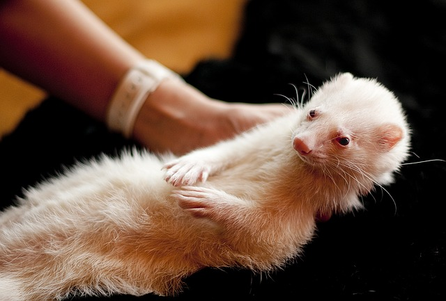 Ferret, Animal, Pet, Rodent, Domestic, Portrait, Puppy