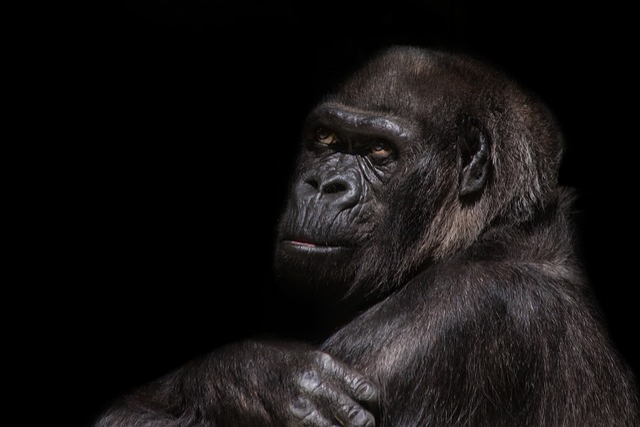 Gorilla, Silverback, Monkey, Ape, Imposing, Dominant