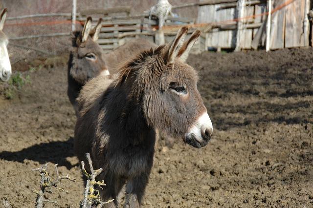 Donkey, Farm, Abruzzo