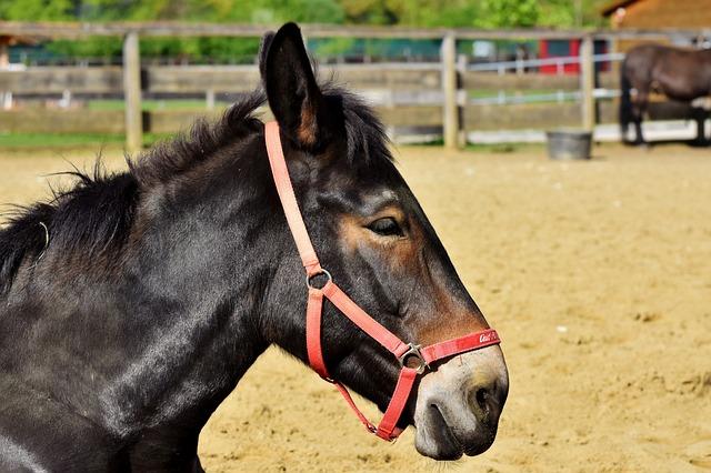 Mule, Muli, Donkey, Beast Of Burden, Workhorse