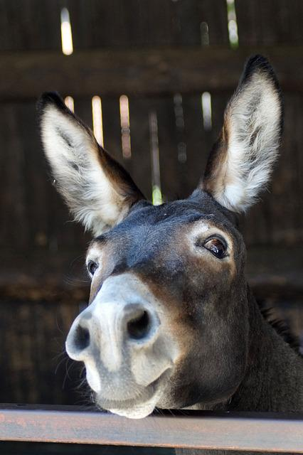 Donkey, Long Ears, Portrait, Funny, Sweet, Head, Ears