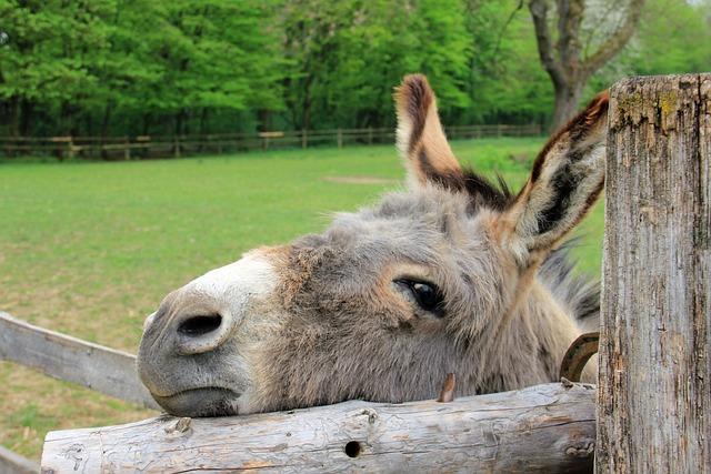 Animal, Donkey, Head, Eyes, Ears