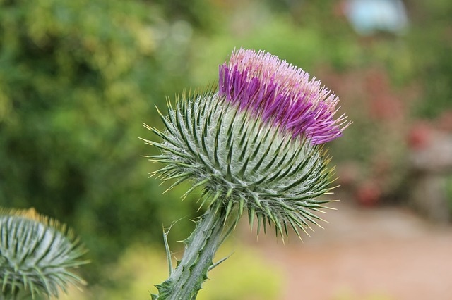 Donkey Thistle, Cancer Thistle, Wool Thistle