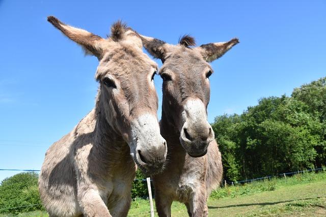Donkeys, Donkeys Of Contentin, Croix Saint André