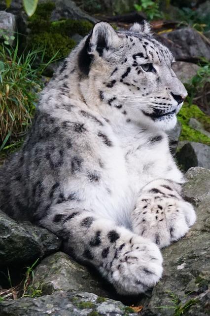 Snow Leopard, Dormant, Predator