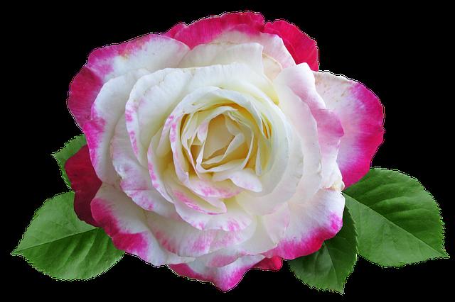 Rose, Double Delight, Autumn, Bloom