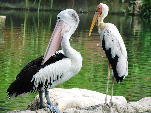 Spotbilled Pelican, Heron Birds, Double, Resting, White