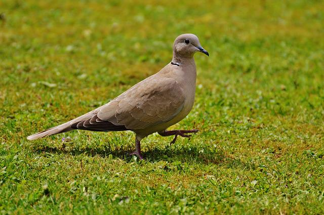 Collared, Dove, Bird, Feather, Nature, Fly, Wing