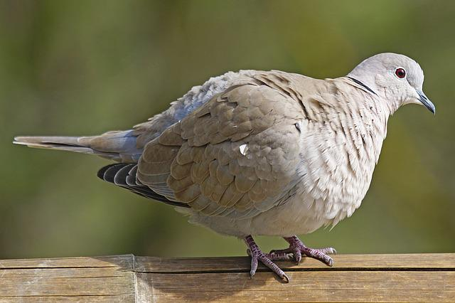 Dove, Collared, Bird, Turtle Dove, Standing